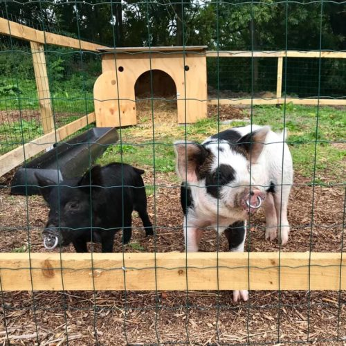 Piglets rehomed